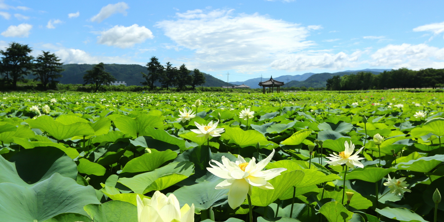 Lotus Flowers of Gyeongju